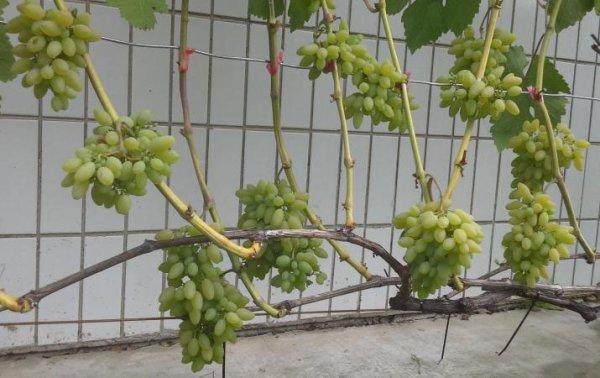 Кусты винограда Тимур