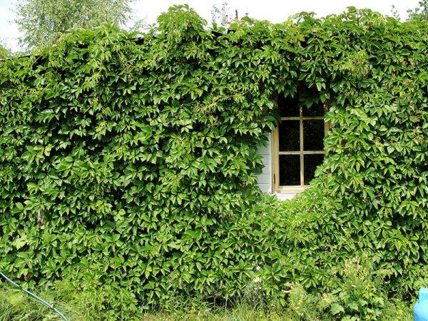 Стена дома, увитая виноградом