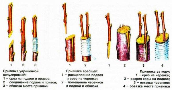 Размножение черешни