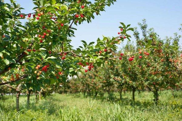 Черешневый сад