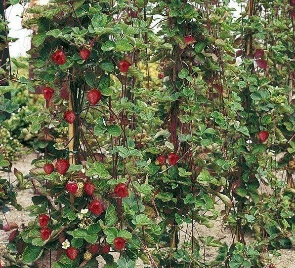 Вертикально растущая клубника