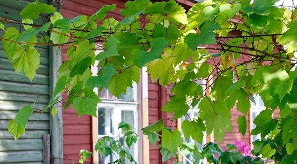 Виноград возле дома