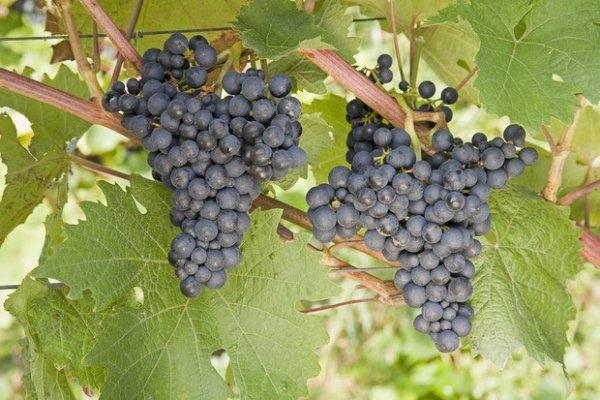 Виноград Черный султан