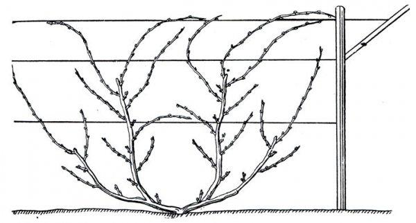 Схема формирования кроны винограда