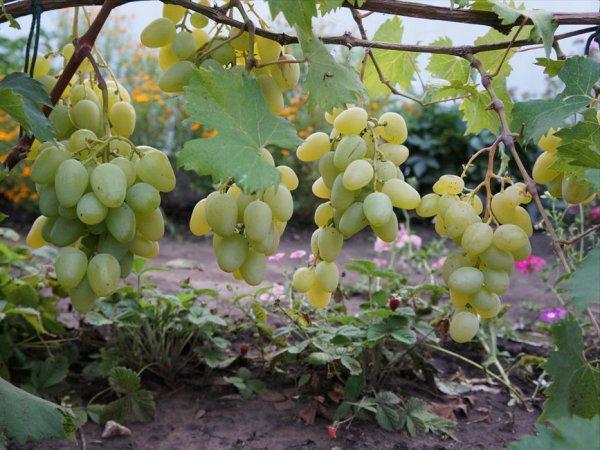 Гроздья винограда Монарх