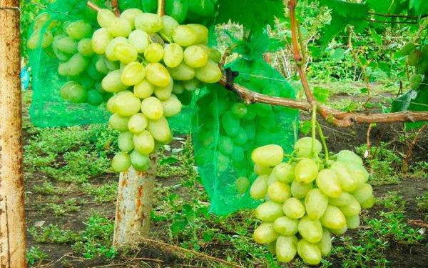 Защита винограда от ос