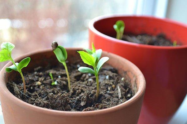 Зеленые ростки в горшке