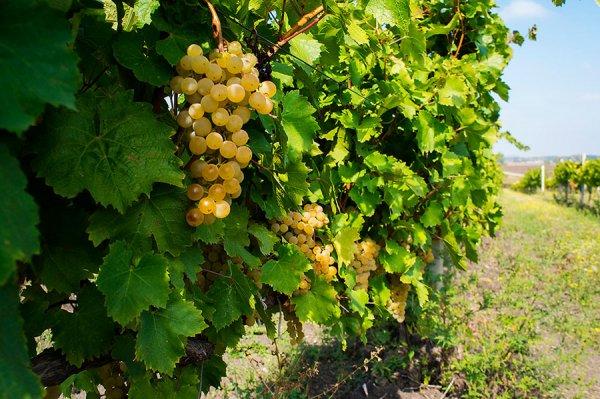 Куст винограда Августин