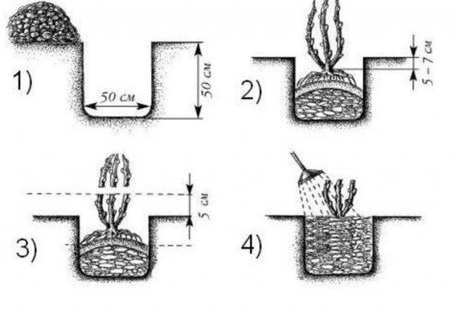 Этапы посадки саженца крыжовника