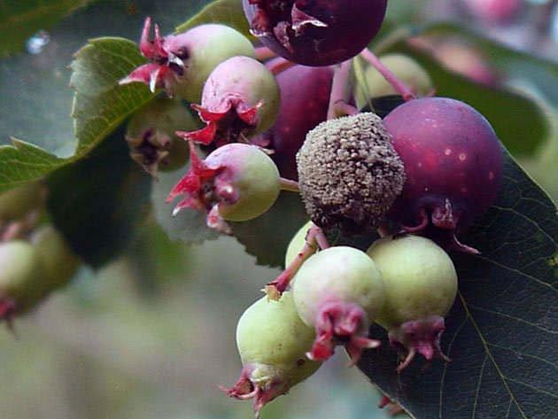 Пораженные вредителем ягоды ирги