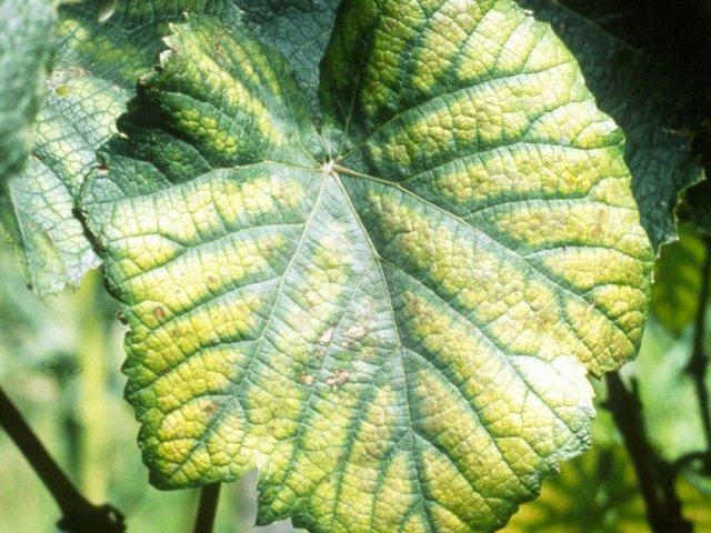 Хлороз на винограде