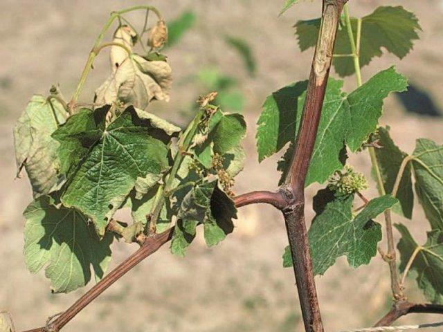 Вертициллез на винограде
