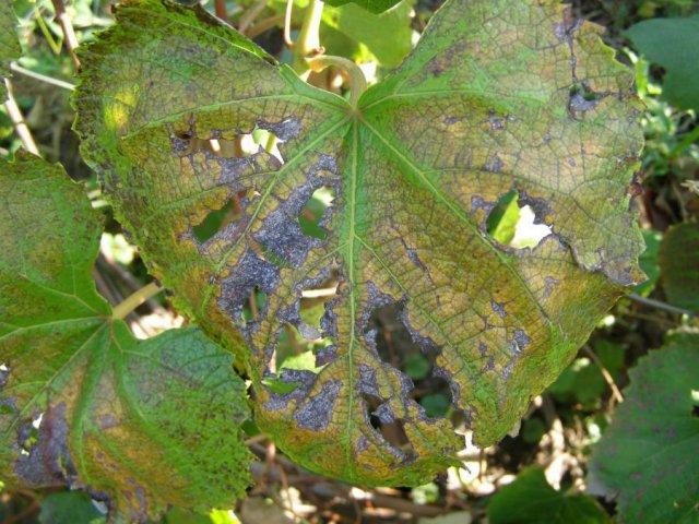 Альтернариоз у винограда