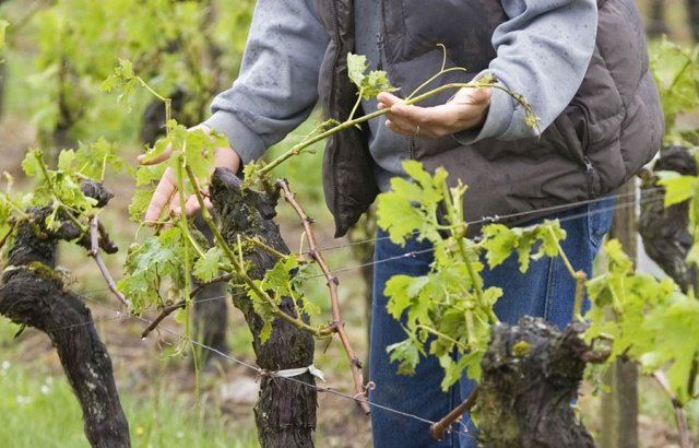 Осмотр кустов винограда