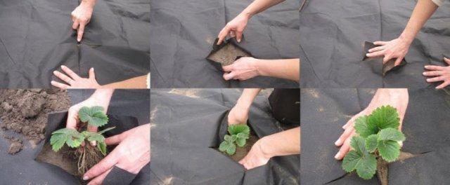Посадка клубники под агроволокно