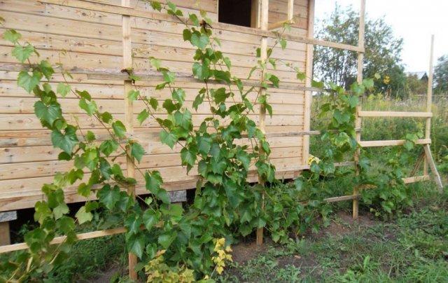 Кусты винограда у стены дома