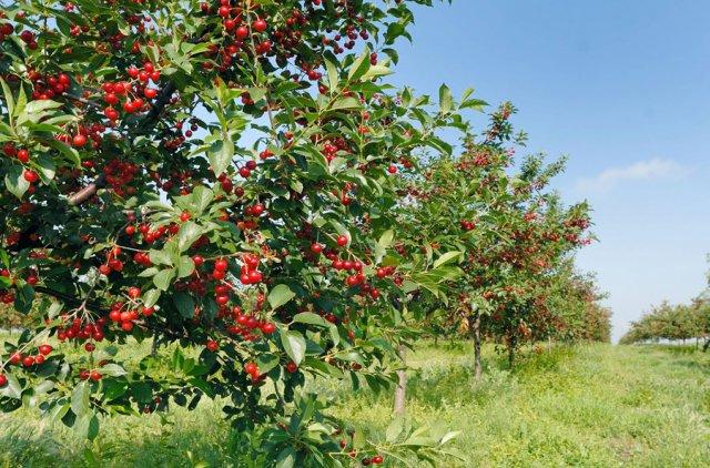 Вишня с ягодами