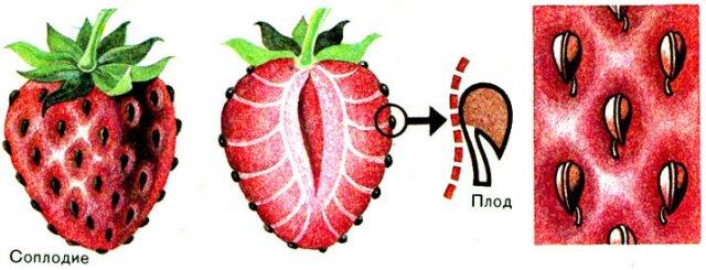 Плод земляники