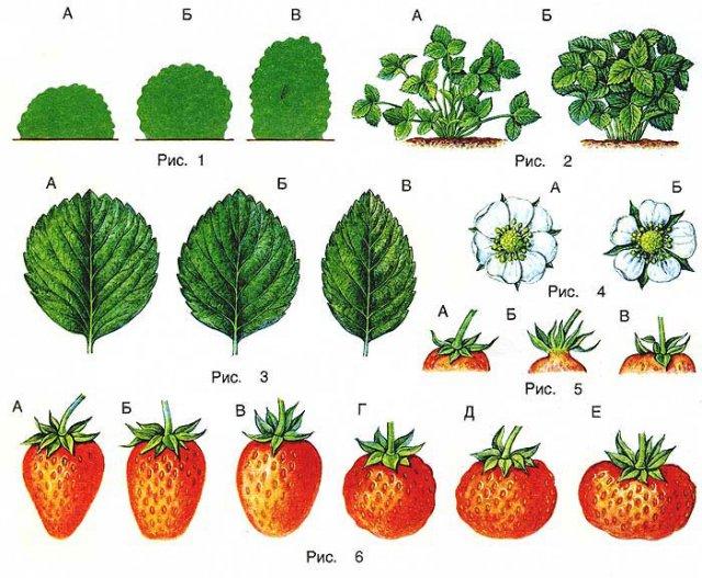 Различия сортов земляники садовой