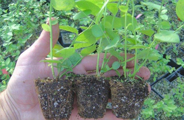 Черенки с развитыми корнями