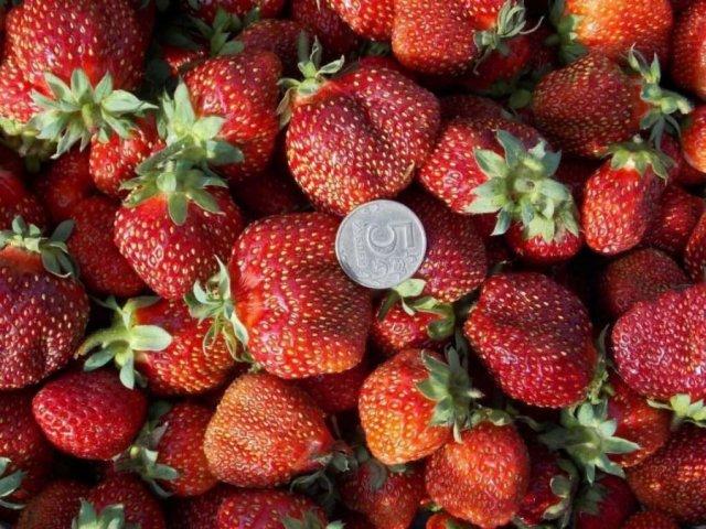Плоды клубники Елизавета 2