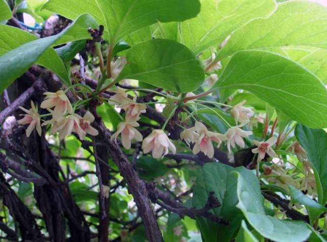 Цветение китайского лимонника