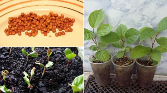 Выращивание лимонника из семян