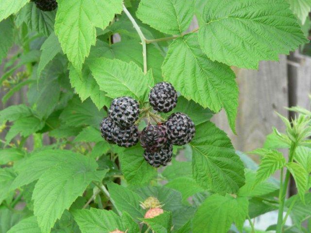 Листья черной малины