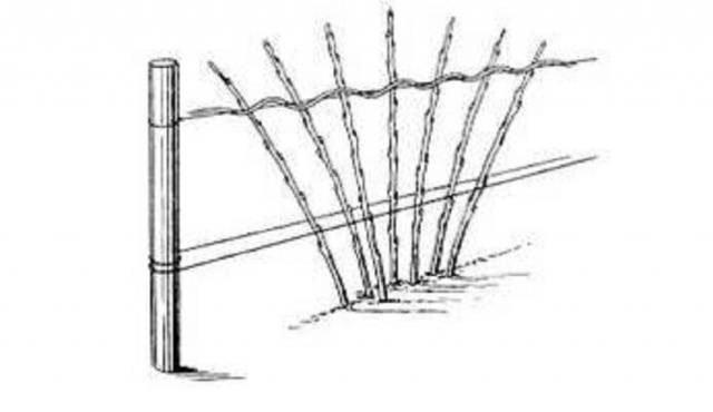Схема подвязки малины