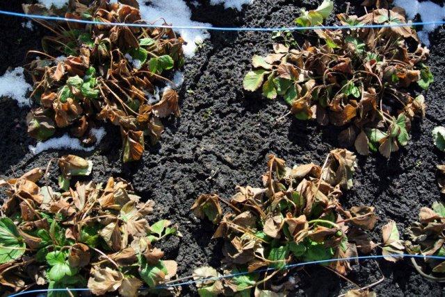 Клубничные кусты весной