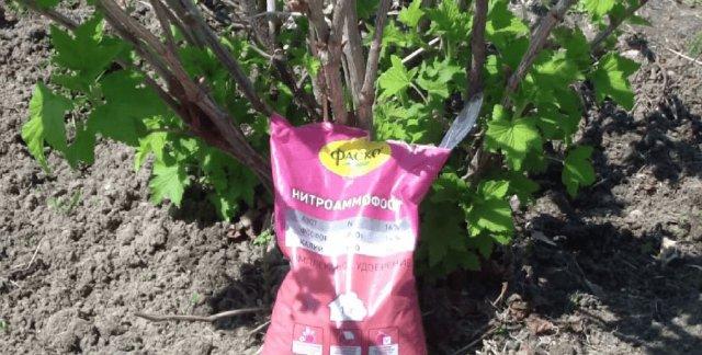 Удобрения для смородины