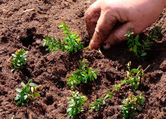 Посадка садовой клюквы