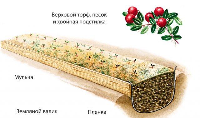 Схема посадки клюквы