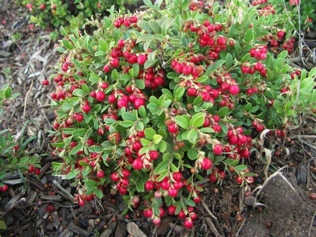 Плодоношение клюквы садовой