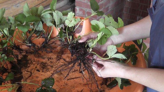 Деление куста клубники для размножения
