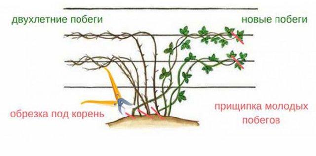 Схема обрезки ежевики