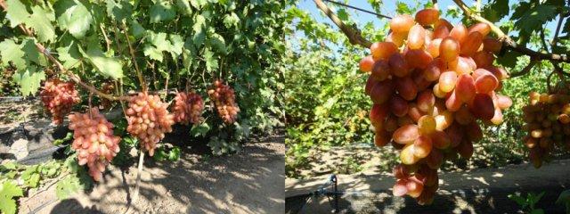 Грозди винограда Юлиан