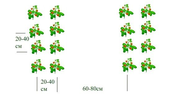 Схема для посадки клубники