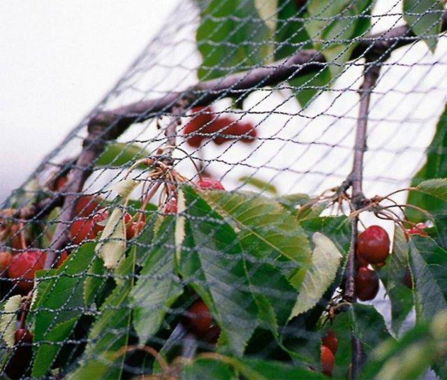 Сетка для защиты вишни от птиц