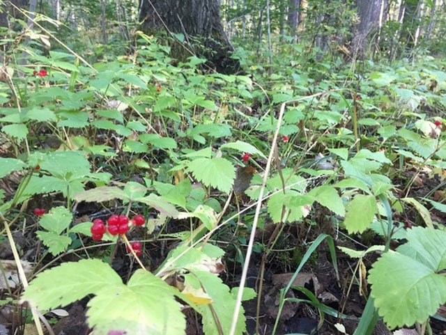 Костяника в лесу