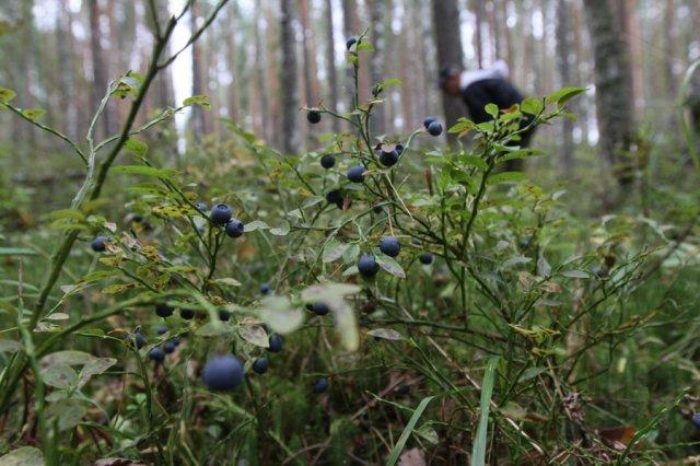 Сбор черники в лесу