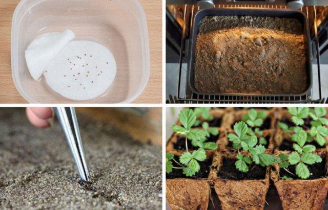 Получение рассады земляники из семян