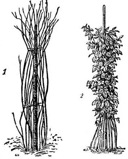 Коловая подвязка малины