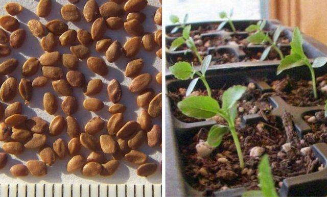 Размножение жимолости семенами
