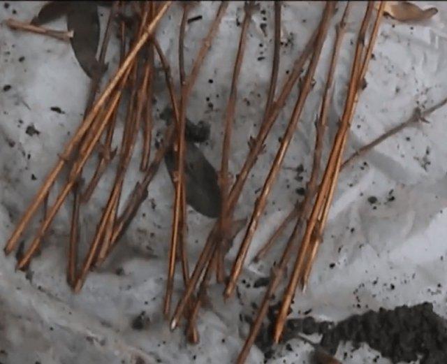 Одревесневшие черенки жимолости