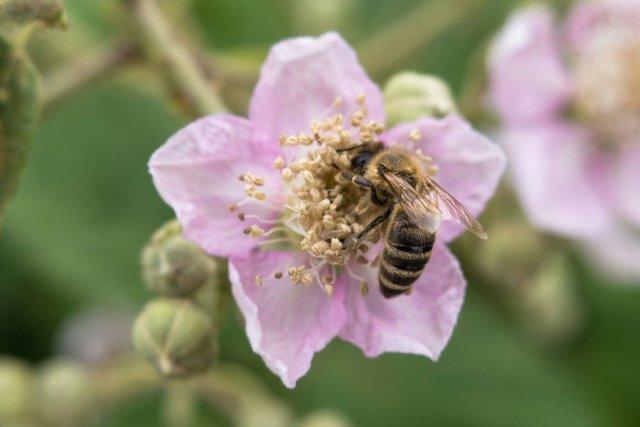 Пчела на цветке ежевики