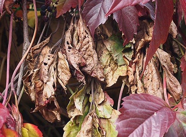 Увядшие листья на диком винограде