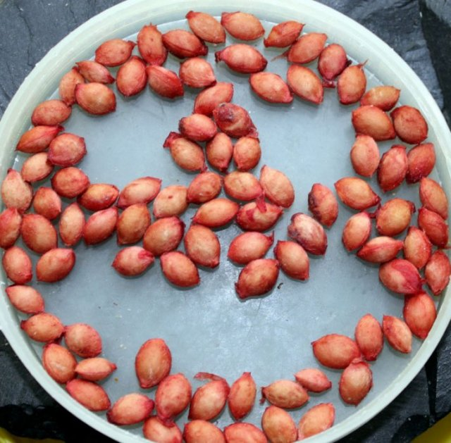 Семена войлочной вишни