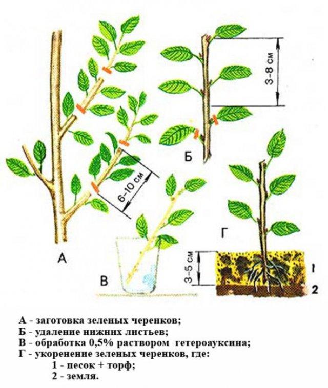 Размножение войлочной вишни черенками