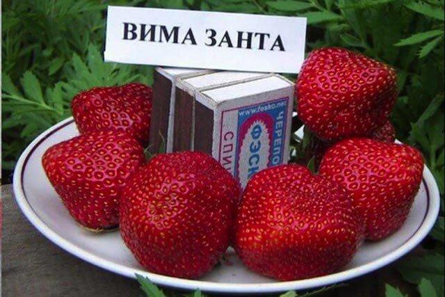 клубника Вима Занта